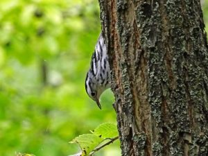 Black and white warbler photographed at Britannia by Keith Wickens