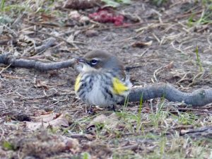 Female warbler eating an ant