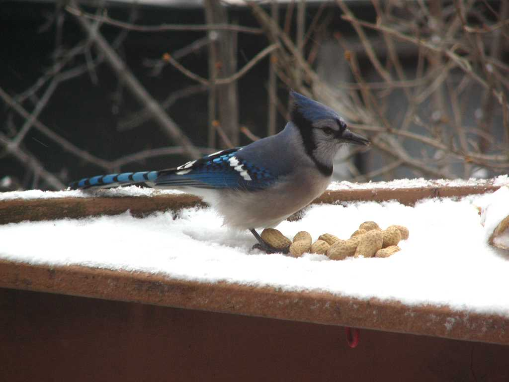 Bird is perched over a pile of unshelled peanuts on a shelf covered with snow
