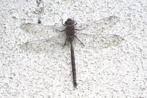 Large dragonfly perched vertically as is typical of darners.