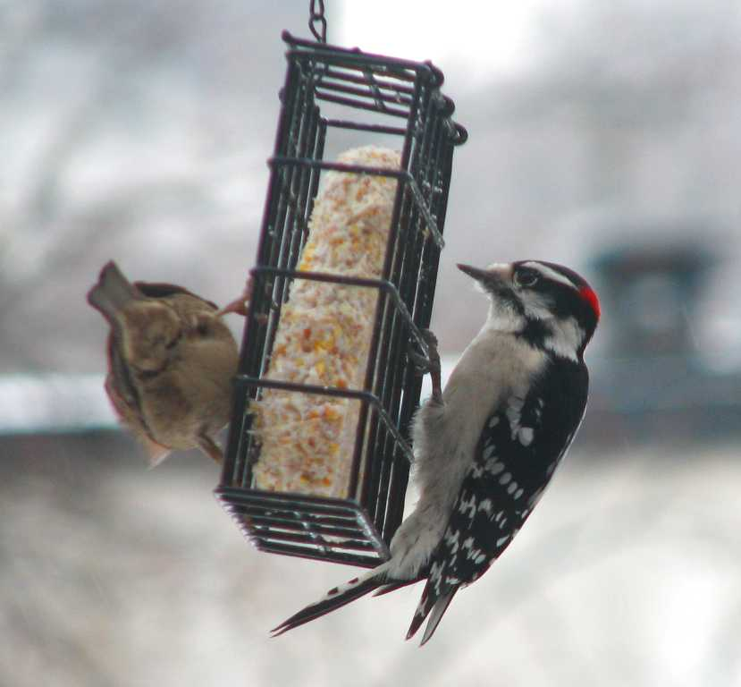 Two birds holding onto a wire box with a suet square inside. One is a downy the other probably a chickadee.
