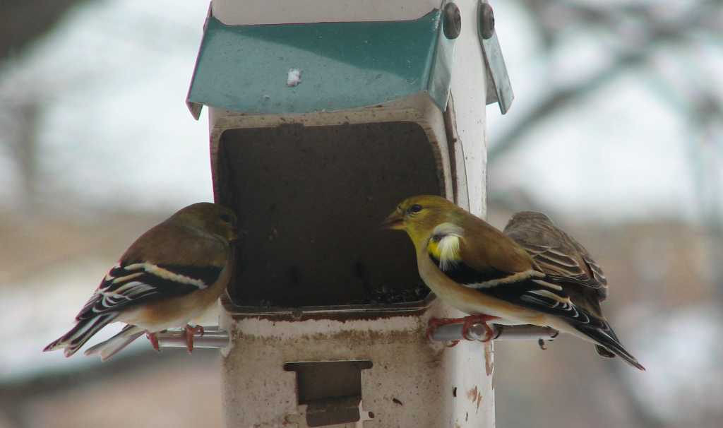 Three birds are perched and eating seeds at a feeder filled with nyger seeds.