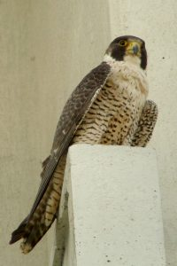 Photo of Rowena a female Peregrine breeding in the Ottawa area