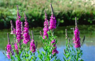Image result for purple loosestrife ontario