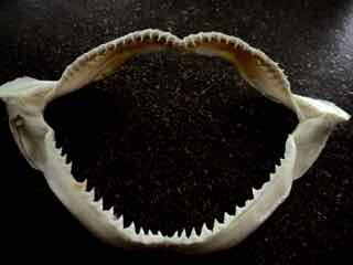 Photo of preserved jaws of small shark