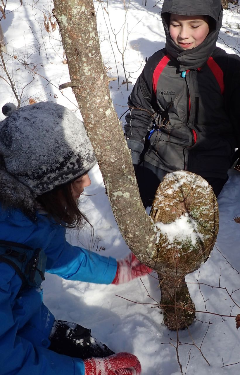 Photo of Macoun Club children looking at White Pine grown into a loop