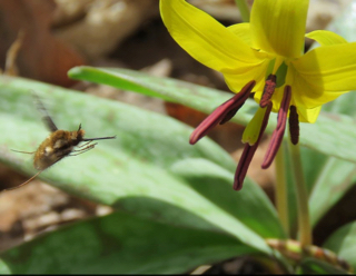 Photo of Bee Fly (Bombylius major) approaching Trout Lily flower