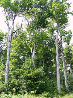 Photo of old-growth Sugar Maple forest (Raycroft Lake, Ontario)