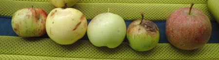 Wild apples from five different trees in the Macoun Field Club's nature-study area
