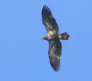 Photo of immature Bald Eagle