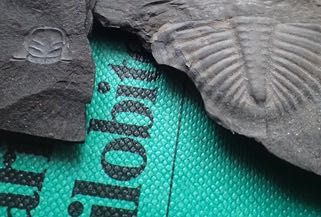 Photo of fossil trilobite specimens (Pseudogygites latimarginatus and Triarthrus sp.)