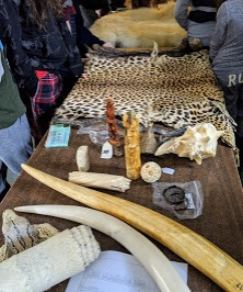 Photo of wildlife parts confiscated by Canada's Wildlife Enforcement Officers