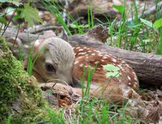 Photo of White-tailed Deer fawn curled up on forest floor