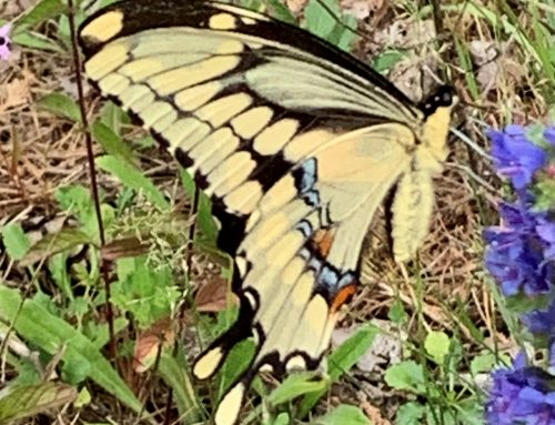 OFNC butterfly count 2019
