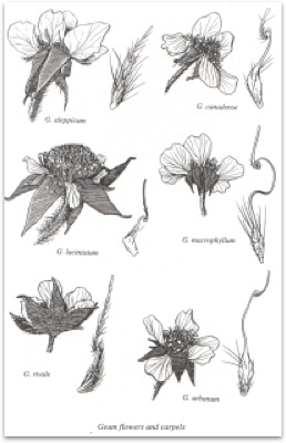 Avens and Agrimonies of the Ottawa District