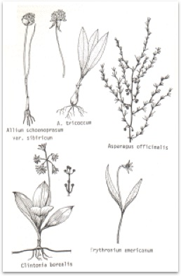 The Liliaceae and Smilacaceae of the Ottawa District