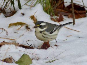 Female warbler in snow