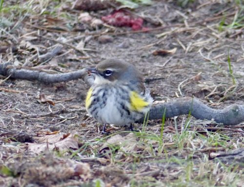 Birders find a warbler in the bleak mid-winter!