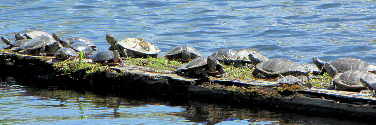 Fourteen turtles are resting on a log that is also covered in moss. The larger are Map Turtles. Their shells are keeled and slight curve up at the edges.