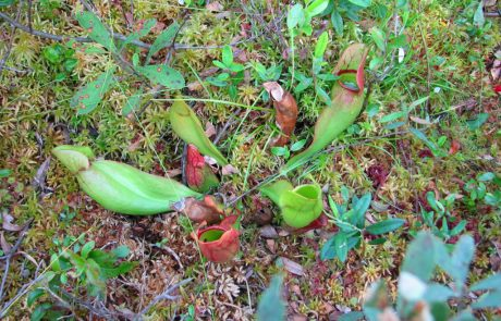 Carnivorous plant with tubular cups that trap insects for drowning and then consumption.
