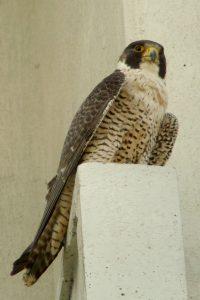 Photo of Rowena a female Peregrine breeding in the Ottawa area