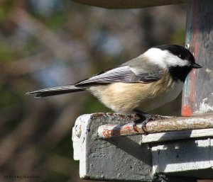 Black-capped chickadee at our Backyard Garden feeder