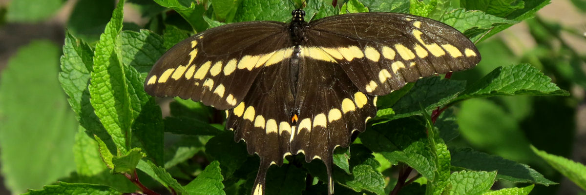 Large butterfly with wings open. Yellow bar across black back and yellow bars along wings form a triangular pattern. Butterfly has tails with yellow teardrops.
