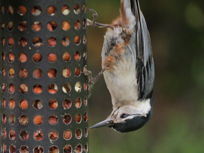 Bird is pointed downwards as it pokes its beak through holes to reach shelled peanuts.