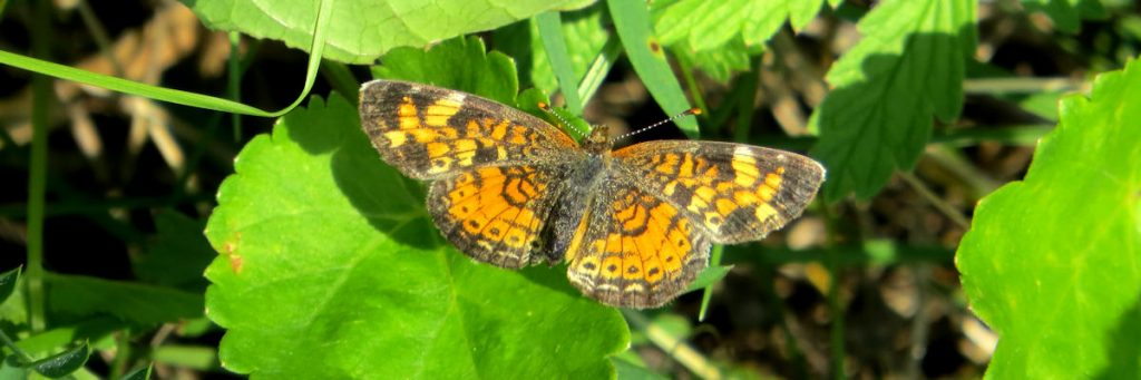 Butterfly is perched with open wings on leaves.