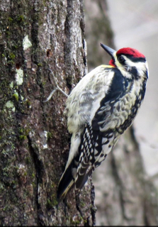 Photo of male Yellow-bellied Sapsucker
