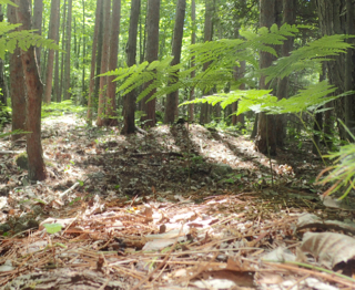 Photo of Red Pine Woodland with Bracken ferns