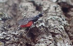 A native parasitoid (Atanycolus sp.) hunting Emerald Ash Borer larvae in the Macoun Field Club's nature-study area