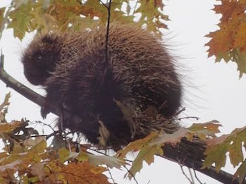 Photo of small Porcupine in Red Oak tree