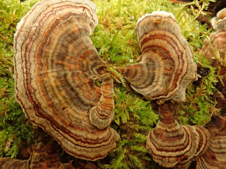 Shelving polypore fungi workshop