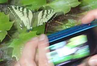 Photo of Canadian Swallowtail butterfly