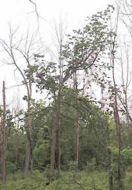 Photo of living Rock Elm among drought-killed ash and maple trees