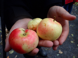 Photo of fruit from a wild apple tree