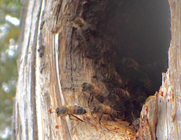 Photo of wild Honeybees setting out in search of nectar