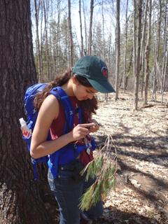 Photo of speaker Priya taking inner bark from fallen pine branch