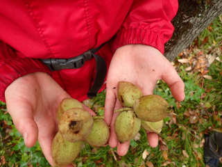 Photo of 4-nut clusters of Butternuts in the hand