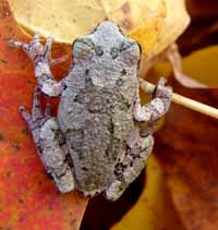 Photo of Eastern Gray Tree Frog