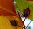 Photo of American Beech with leaves and nuts