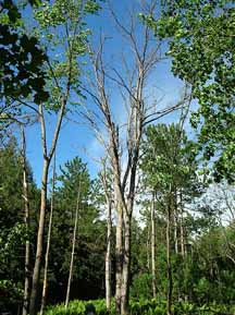 Photo of grove of Butternut trees dead from butternut canker disease