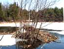 Photo of beaver lodge amid ice and open water