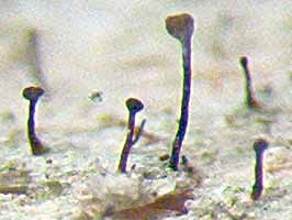 Photo of stalked apothecia of Cheanothecopsis savonica on wood