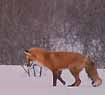 Photo of Red Fox hunting mice in snow, ears turned forward and down