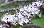 Photo of Tube Lichen (Hypogymnia physodes) on twig