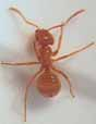 Photo of worker ant (Lasius minutus)