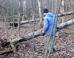 Photo of Butternut trees toppled by canker disease