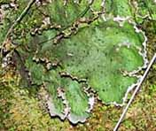 Photo of wetted lobes of lichen Peltigera leucophlebia